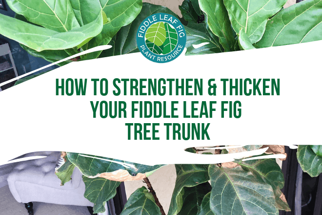 Learn how to strengthen and thicken a fiddle leaf fig tree trunk. Click to view the exclusive video teaching you how to thicken your fiddle leaf fig trunk.
