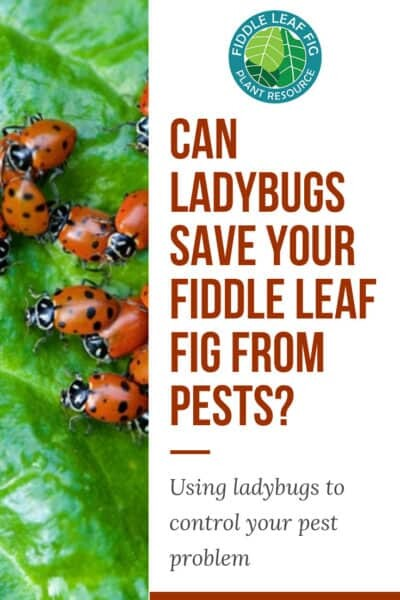 Pests Bugging Your Fiddle Leaf Fig Pros and Cons of Releasing Ladybugs Indoors