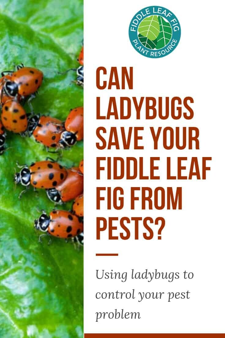 Fiddle Leaf Fig Pests? Try a Natural Solution to Mealy Bugs
