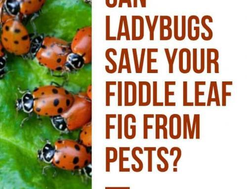 Pests Bugging Your Fiddle Leaf Fig? Pros and Cons of Releasing Ladybugs Indoors