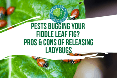 Not long ago, I realized my fiddle leaf fig trees were being antagonized by a pest. To control and treat pests on a fiddle leaf fig, read more now.