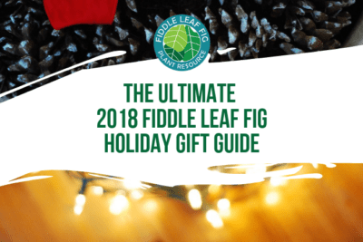 If there is a fiddle leaf fig lover in your life, you know how special they are. This year surprise them with one-of-a-kind fiddle leaf fig gifts!