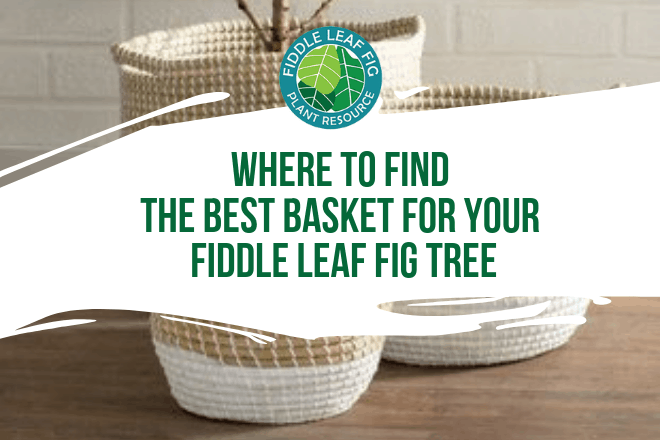 Where do you find the best basket for a fiddle leaf fig tree? Here's our guide for getting a great deal on a basket to dress up your fiddle leaf fig.