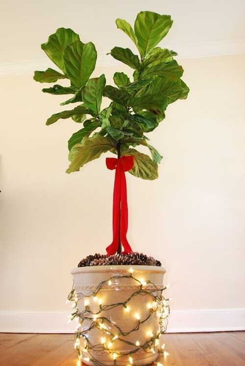 Deck the Halls And Your Fiddle Leaf Fig Tree This Christmas Season 8planterlitup cones and bow