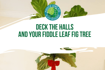 Chances are that if you appreciate a Fiddle Leaf Fig tree, then you also enjoy other home decor trends. This Christmas, decorate your tree!