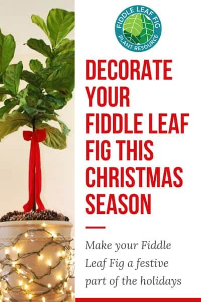 Decorate Your Fiddle Leaf Fig for Christmas