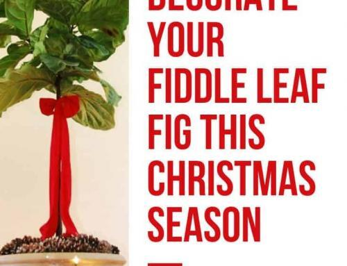 Deck the Halls (And Your Fiddle Leaf Fig Tree!) This Christmas Season