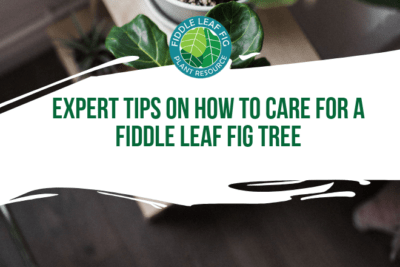 Read the top fiddle leaf fig care tips from our guest expert, Alessandra Pham. Learn how best to care for your fiddle leaf fig.