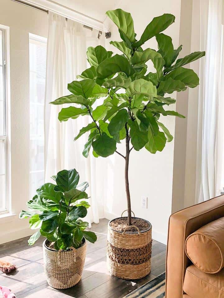 Tips and Tricks for Fiddle Leaf Fig Plant Care