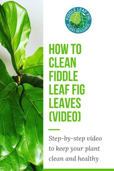 How to Clean Fiddle Leaf Fig Leaves Video