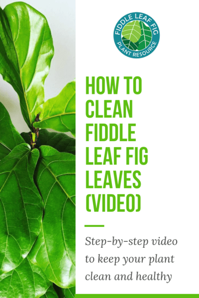 How to Clean Fiddle Leaf Fig Leaves