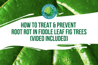 Perhaps the most common problem we see is root rot in fiddle leaf fig trees. In this exclusive video,learn how to treat and prevent root rot.
