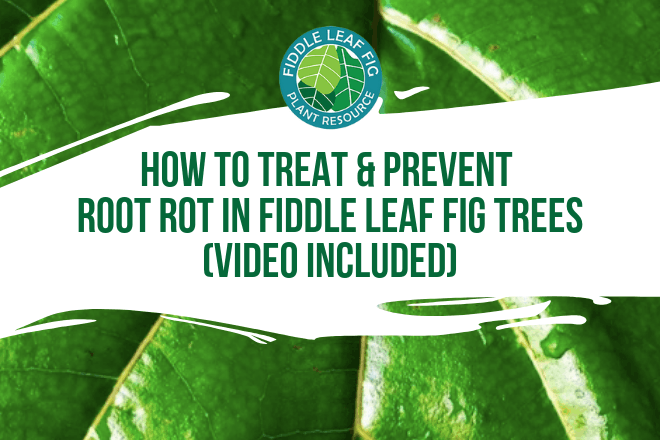 Perhaps the most common problem we see is root rot in fiddle leaf fig trees. In this exclusive video, learn how to treat and prevent root rot.
