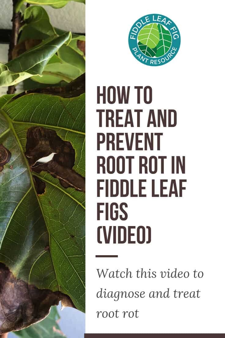 How to Treat and Prevent Root Rot in Fiddle Leaf Fig Plants