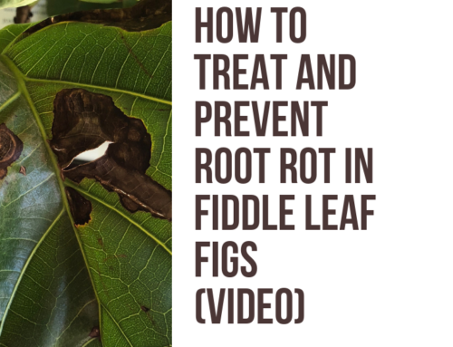 How to Treat and Prevent Root Rot in Fiddle Leaf Fig Trees (Video)