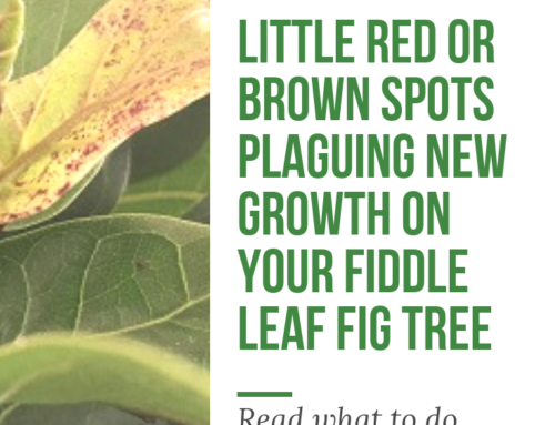 Little Red or Brown Spots Plaguing New Growth on Your Fiddle Leaf Fig Tree? Here's Why (and What to Do)