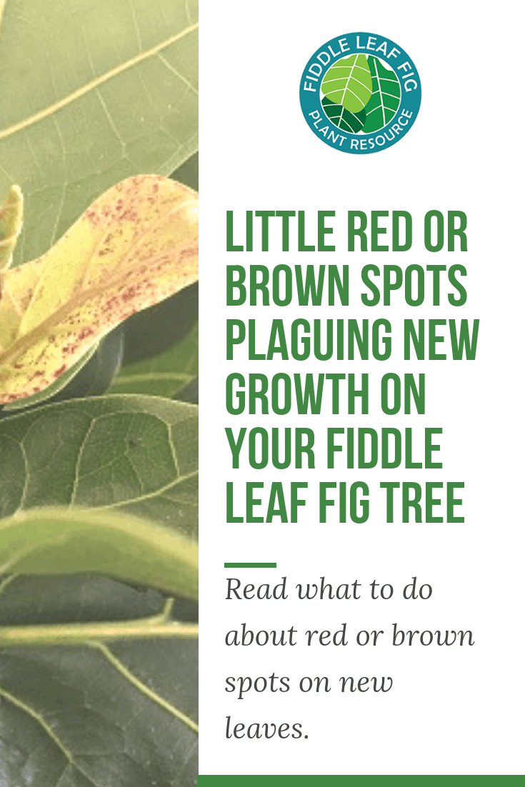 Little Red orred spots on fiddle leaf figBrown Spots Plaguing New Growth on Your Fiddle Leaf Fig Tree