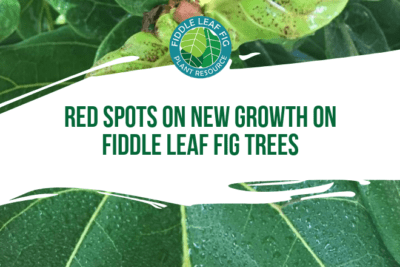 Do you have red spots on your fiddle leaf fig tree? Here's why they happen and what to do about them. It turns out red spots are normal on new growth.