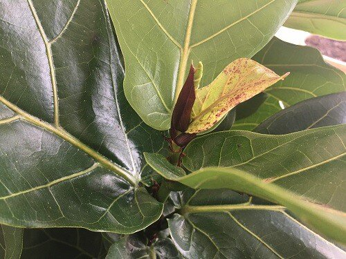 red spots on fiddle leaf fig