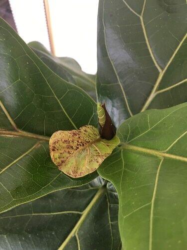 red spots on fiddle leaf fig