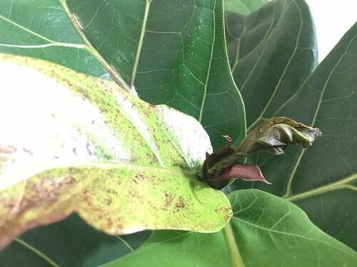Red or Brown Spots on Fiddle Leaf Fig New Growth