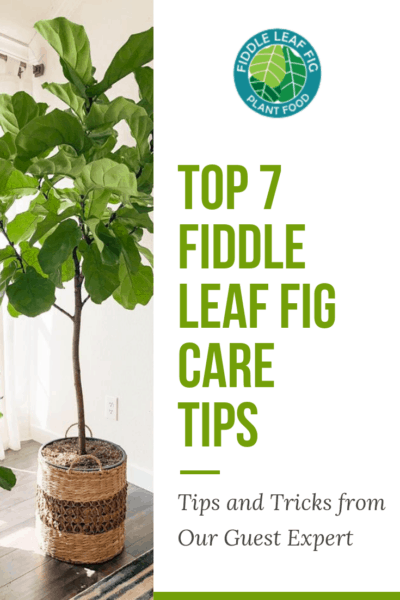 fiddle leaf fig care tips