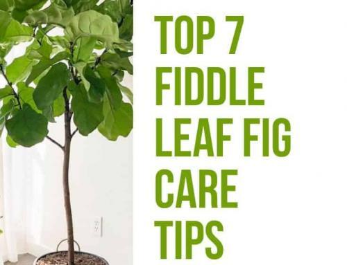 Top Fiddle Leaf Fig Care Tips from Guest Expert Alessandra Pham