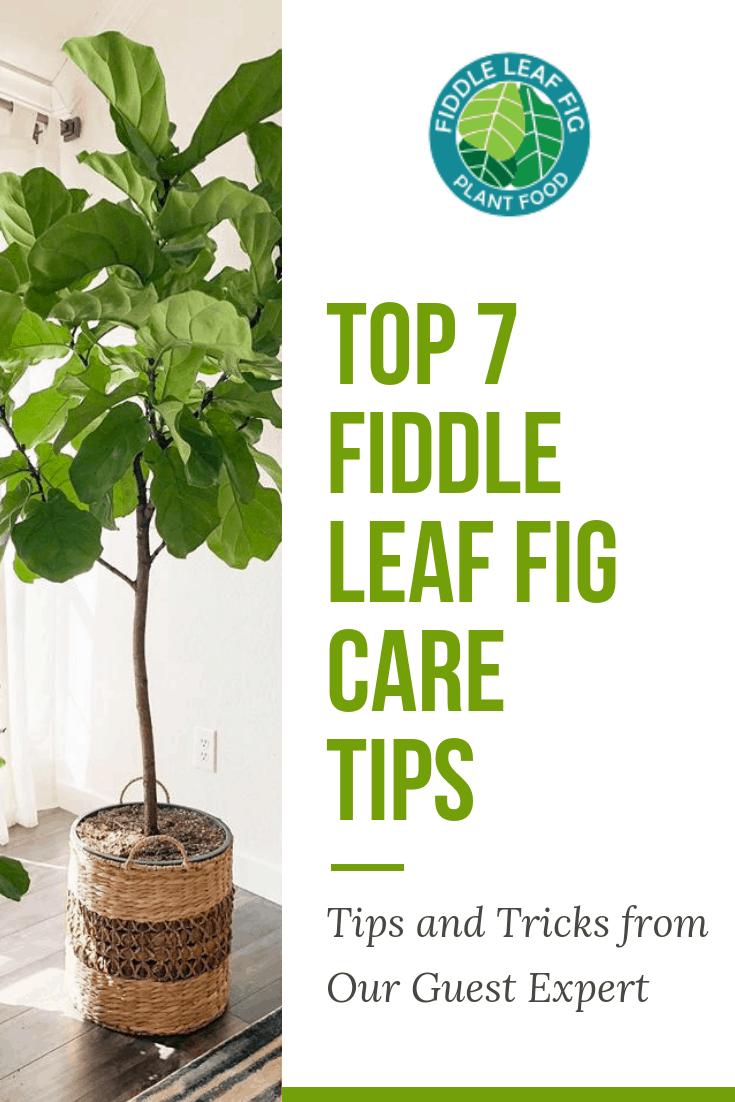 fiddle leaf fig care tips