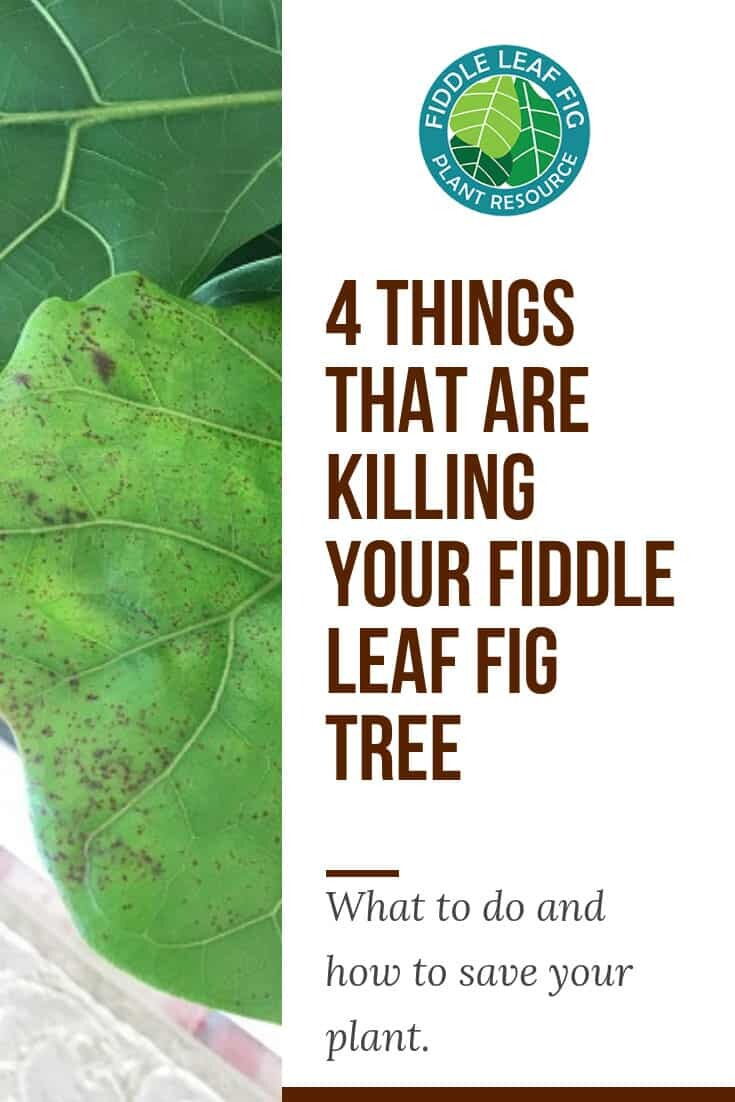 4 Things That Are Killing Your Fiddle Leaf Fig Tree