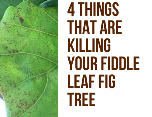 Four Things Killing Your Fiddle Leaf Fig Tree 