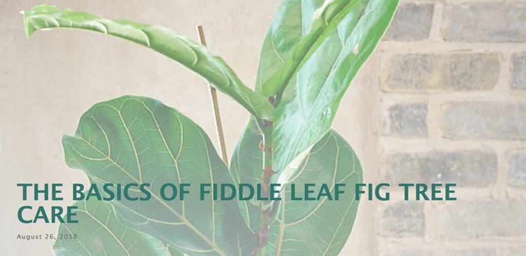 Basics of Fiddle Leaf Fig Tree Care