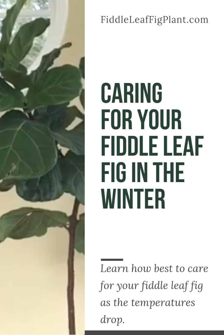 Caring for your Fiddle Leaf Fig in the Winter