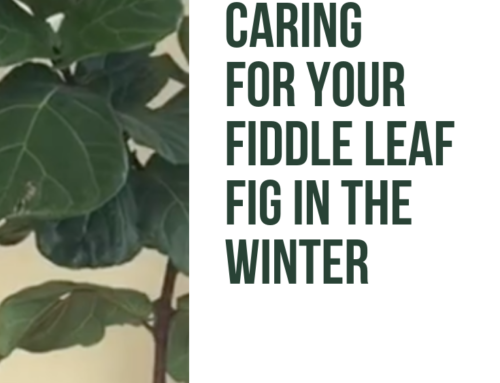 How to Care for Your Fiddle Leaf Fig in the Winter (Video)