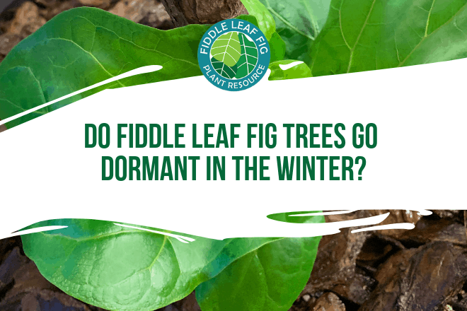Wondering if your fiddle leaf fig goes dormant in winter? Click to learn the answers to your seasonal fiddle leaf fig questions.