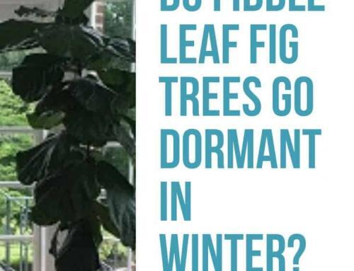 Do Fiddle Leaf Fig Trees Go Dormant In Winter? Your Seasonal Fiddle Care Questions Answered