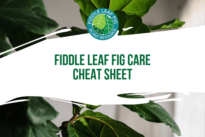 Download your fiddle leaf fig care sheet today and learn the best tips for caring for your fiddle leaf fig tree. Ideal for beginner fiddle leaf fig owners.