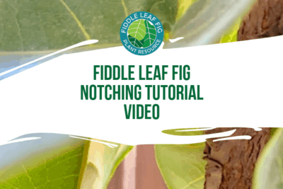 Watch this fiddle leaf fig notching tutorial video to learn the step-by-step instructions to get your plant to grow branches!