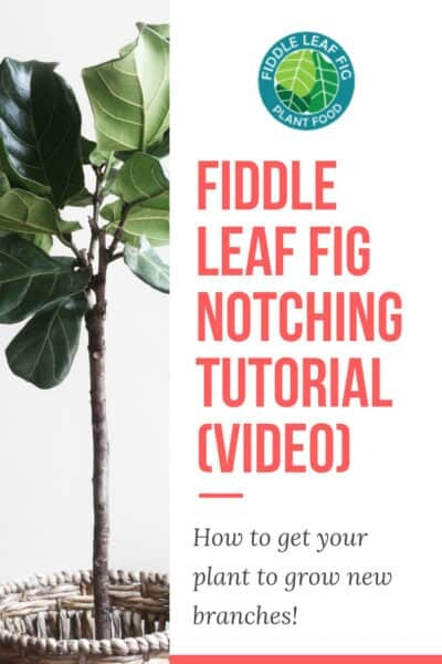 Fiddle Leaf Fig Notching Tutorial Video How to Get Your Plant to Grow New Branches
