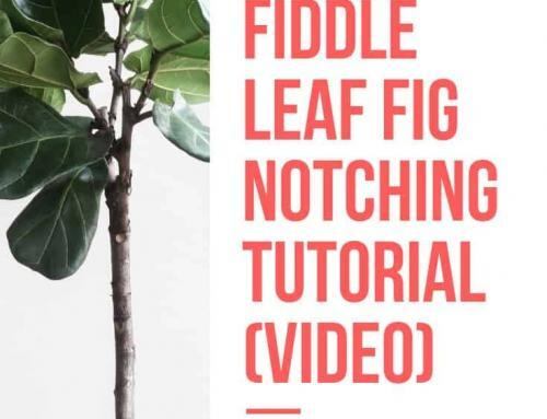 Fiddle Leaf Fig Notching Tutorial Video (How to Get Your Plant to Grow New Branches)
