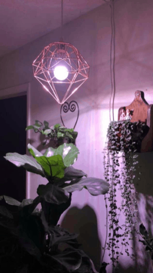 Fiddle leaf figs can benefit from grow lights. Click to learn the best grow lights for your fiddle leaf fig and how to properly use them. Claire Akin