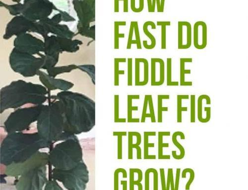 How Fast Do Fiddle Leaf Fig Trees Grow? 