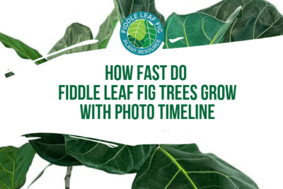 How fast do fiddle leaf fig tress grow is a common question here at The Fiddle Leaf Fig Plant Resource. Click to view a full photo timeline.