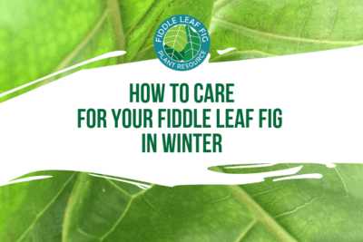 Wondering how to keep your fiddle leaf fig healthy in the winter? Click to watch a video on how best to care for your fiddle leaf fig in the winter time.