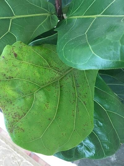 Learn about the four things that are killing your fiddle leaf fig tree and ways to save your plant from each deadly threat. Claire Akin