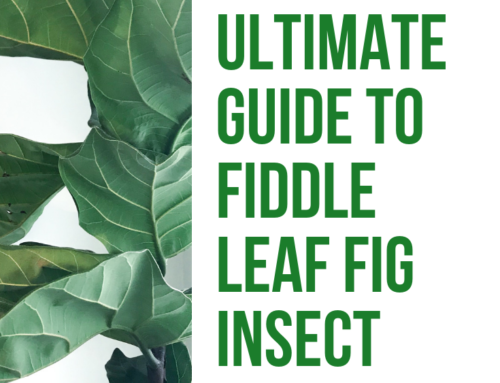 The Ultimate Guide to Fiddle Leaf Fig Insect Problems (Video)