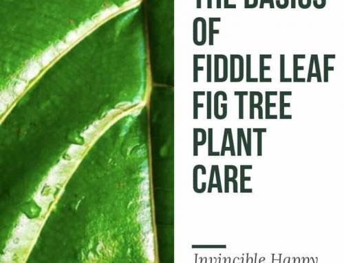 Fiddle Leaf Fig Plant Resource Featured By Invincible Happy Houseplants