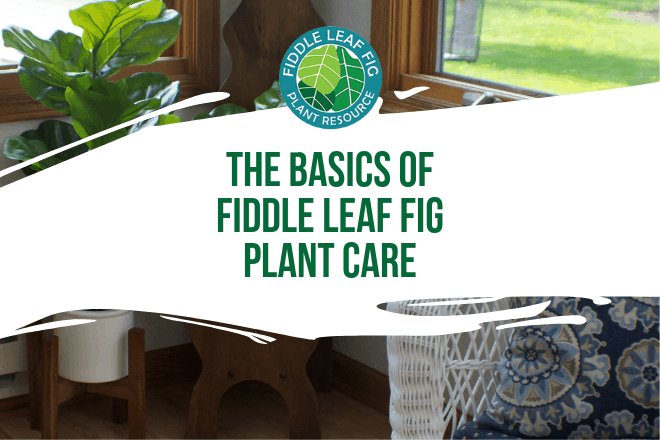 Read more from Invincible Happy Houseplants on how best to care for a fiddle leaf fig tree.