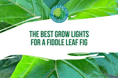 Fiddle leaf figs can benefit from grow lights. Click to learn the best grow lights for your fiddle leaf fig and how to properly use them.