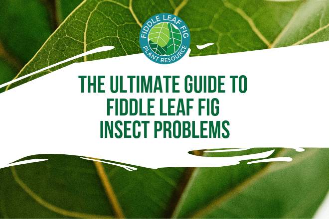 There are quite a few fiddle leaf fig insects that can attack your plant and it's important to know the differences in order to treat them properly.