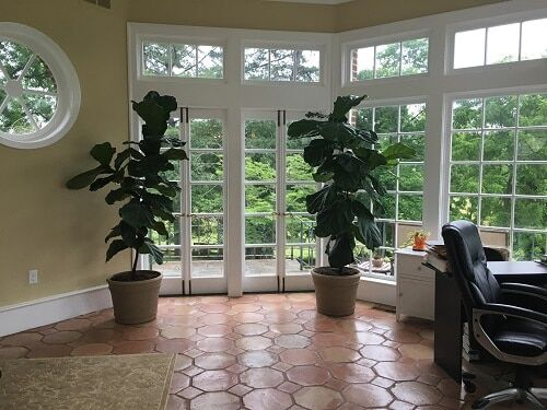 Wondering if your fiddle leaf fig goes dormant in winter? Click to learn the answers to your seasonal fiddle leaf fig questions. Claire Akin